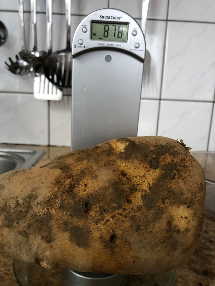 Ziemniak gigant podczas ważenia